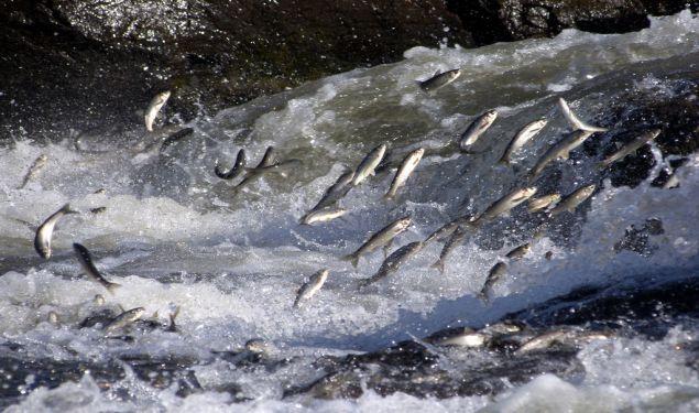 Balık Göçü